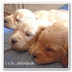 G is for Goldendoodle